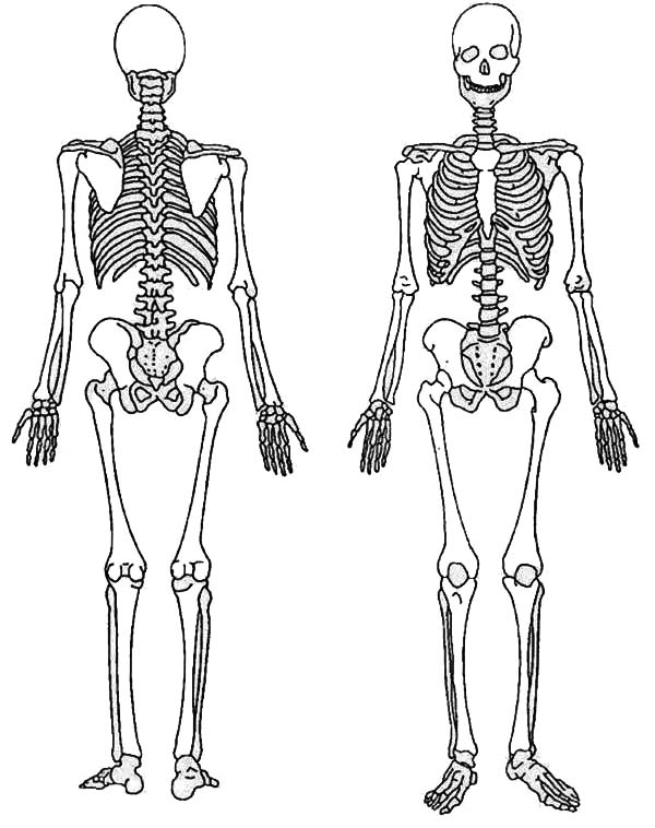 Image Gallery Skeleton Front Human Skeleton Coloring Pages