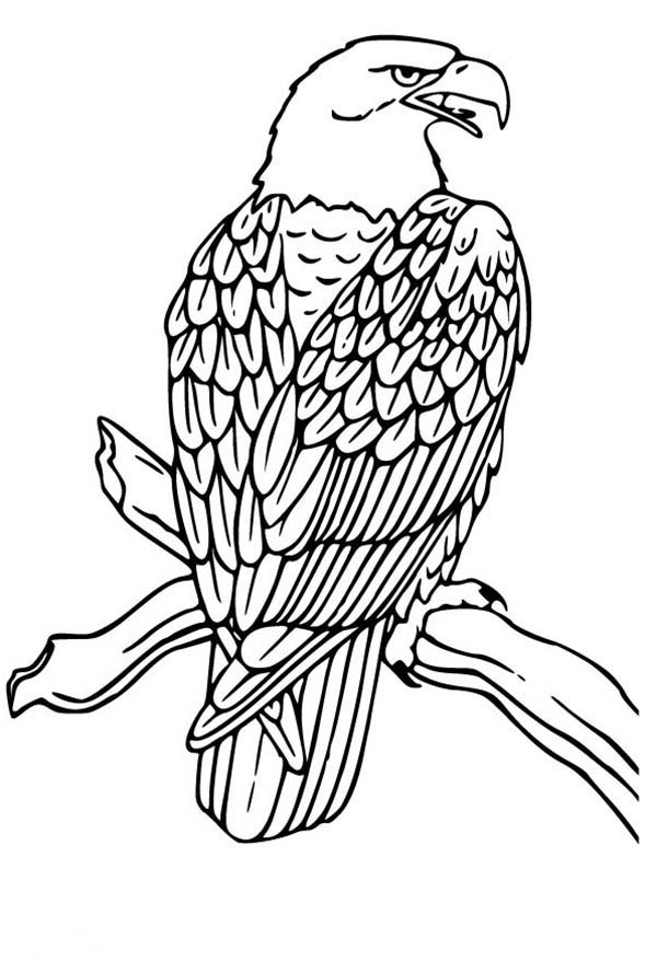 Bald Eagle Drawing Coloring Page