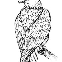 Beautiful Bald Eagle Coloring Page