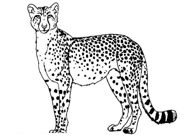 Cheetah Standing Coloring Page