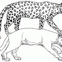 Cheetah and Albino Tiger Coloring Page