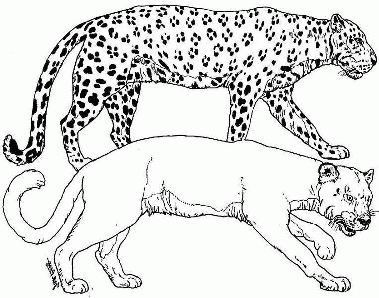 Cheetah and Albino Tiger Coloring Page