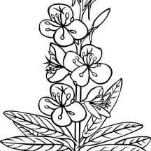 Epilobium Angustifolium Flower Coloring Page
