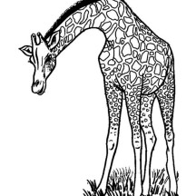 Male Giraffe Coloring Page
