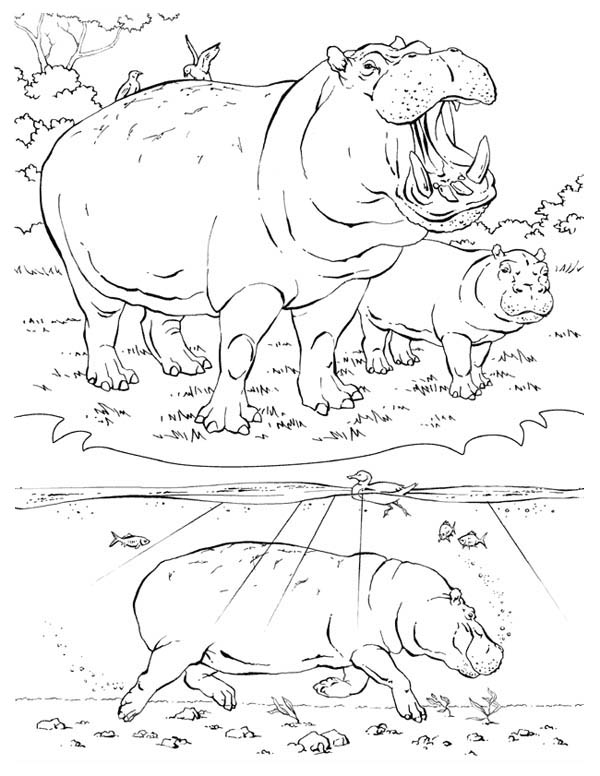 Picture of Hippo Activity Coloring Page