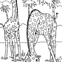 Two Giraffe Eating Grass Coloring Page