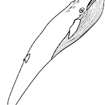 Awesome Pictur of Blue Whale Coloring Page