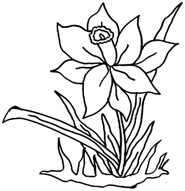 Daffodil Flower in the Garden Coloring Page