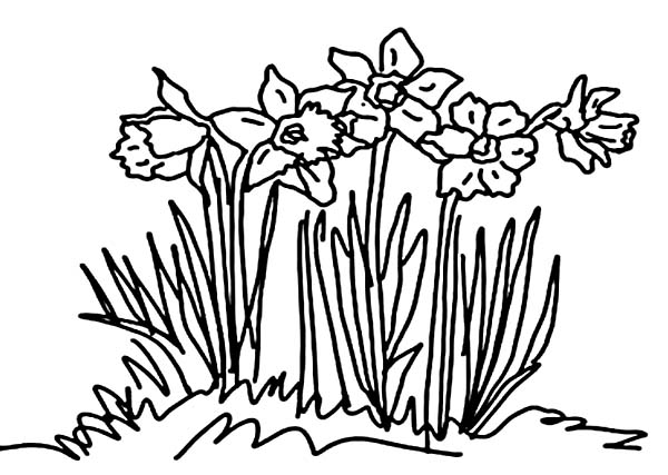 Daffodil in the Front Yard Coloring Page