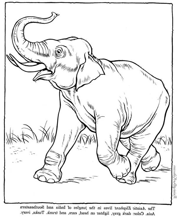 Asiatic Elephant Coloring Page