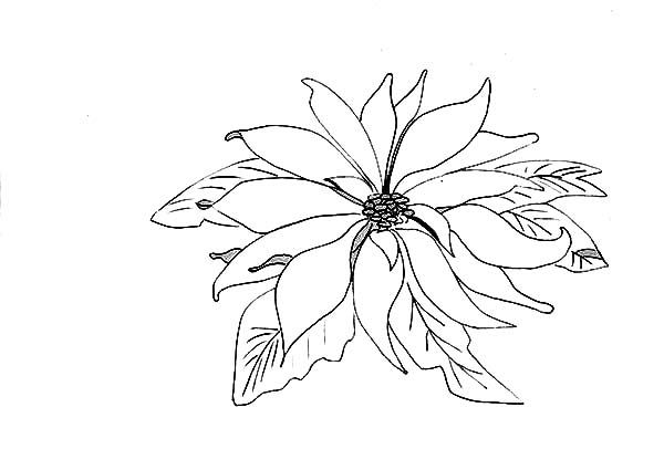 Sketch of Poinsettia for National Poinsettia Day Coloring Page
