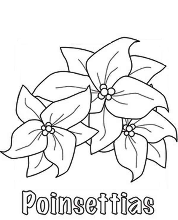 Sketching Poinsettia for National Poinsettia Day Coloring Page