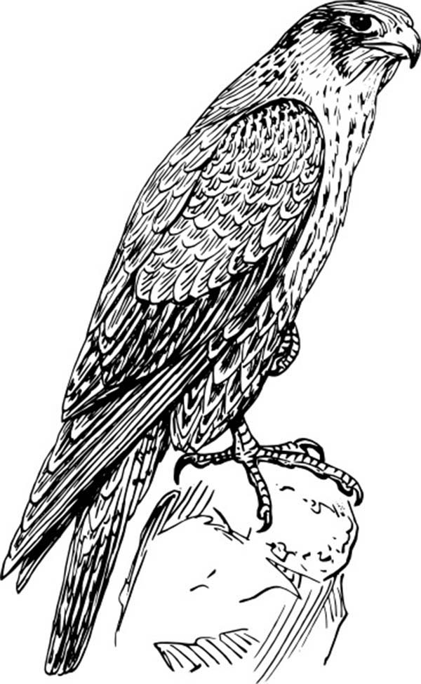 falcon coloring pages - photo#15