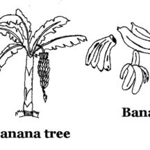 Banana Tree and Banana Bunch Coloring Pages
