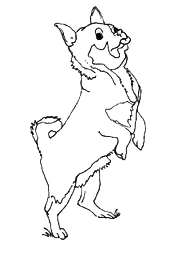 Chihuahua Dog Excited Coloring Pages