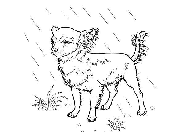 Chihuahua Dog Standing in the Rain Coloring Pages
