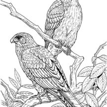 Couple of Falcon Bird Coloring Pages