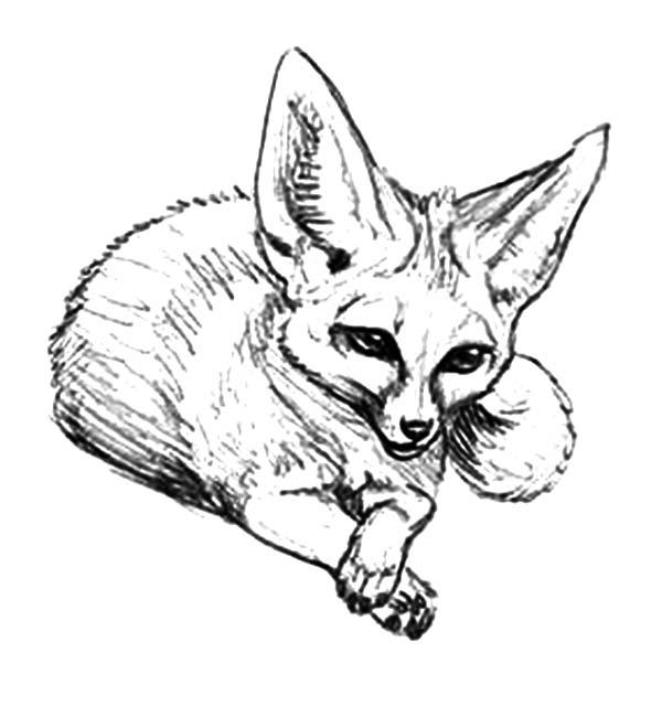 Desert Fox Coloring Pages For Kids Netart
