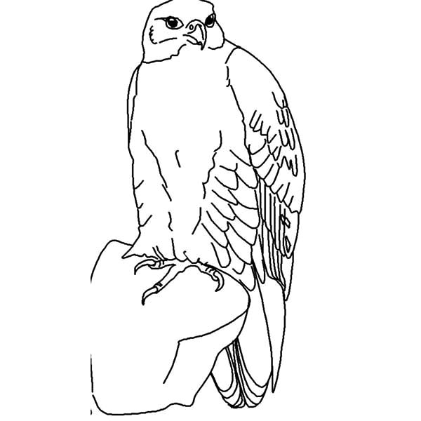 Drawing Falcon Bird Coloring Pages