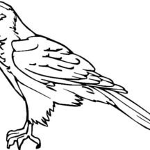 Falcon Bird Outline Coloring Pages