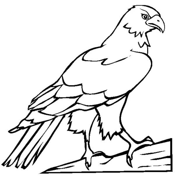 Falcon Bird Picture Coloring Pages
