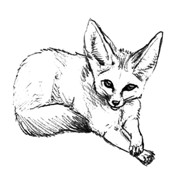 How to Draw Desert Fox Coloring Pages