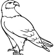 How to Draw Falcon Bird Coloring Pages