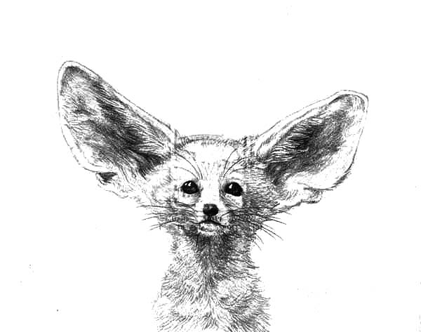 Pencil Sketch Desert Fox Coloring Pages