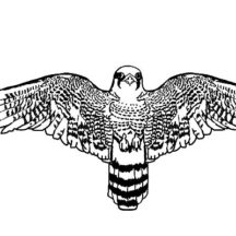 Peregrine Falcon Bird Widening Wings Coloring Pages