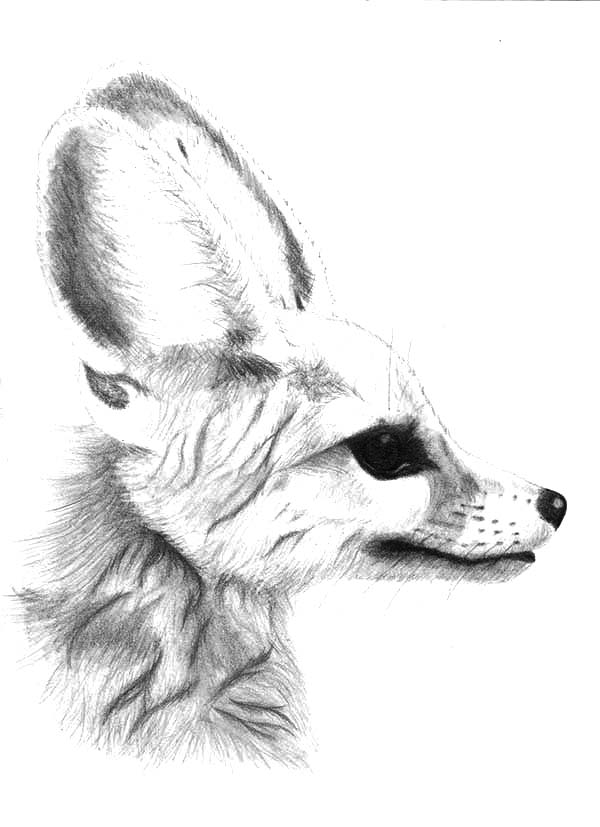 Potrait of Desert Fox Coloring Pages