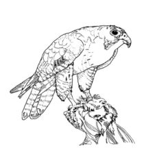 Texas Big Bend Peregrine Falcon Bird Coloring Pages