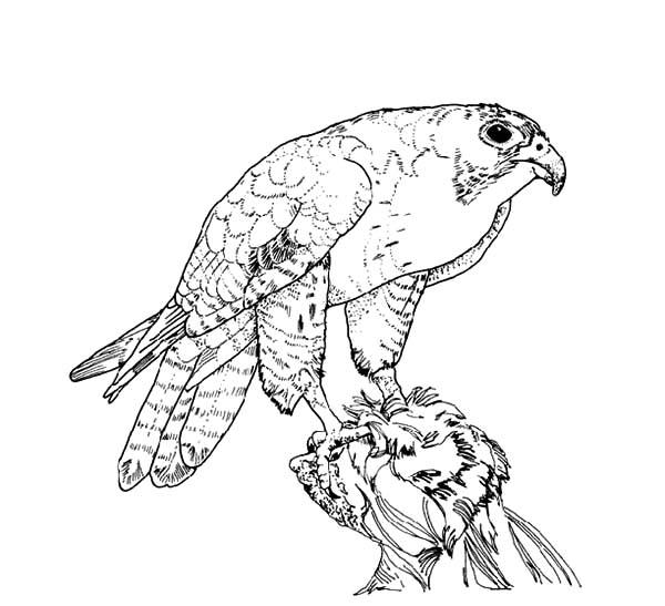 Texas Big Bend Peregrine Falcon Bird Coloring Pages