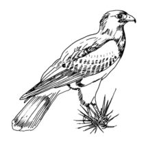 Texas Harris Falcon Bird Coloring Pages
