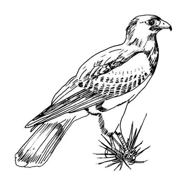 Texas Harris Falcon Bird Coloring Pages