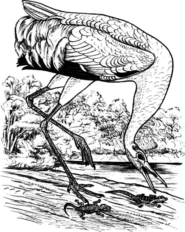 Whooping Crane Bird Trying to Catch Lizard Coloring Pages