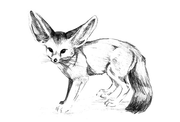 Wide Ear Desert Fox Coloring Pages