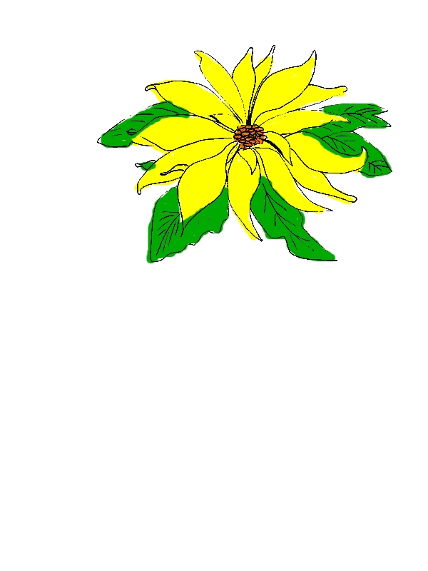Sketch of Poinsettia for National Poinsettia Day Coloring Page by years old Margaret C  Qualls
